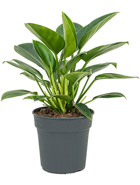 Philodendron onyx bush