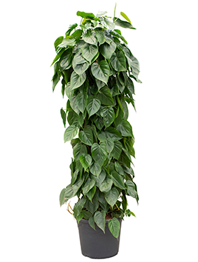 Philodendron scandens on moss-pole